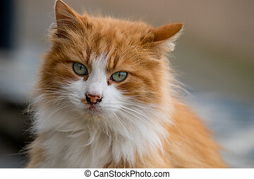 Portrait of red cat looking at the camera