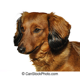Red Long-Haired Dachshund - Portrait of Red Long-Haired ...