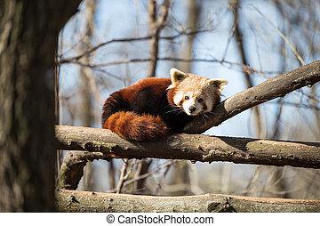Portrait of red panda lying on tree - Portrait of red panda...