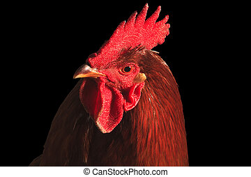Portrait of red rooster isolated on black