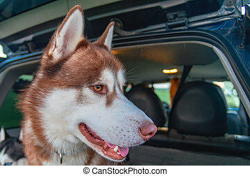 Portrait of red Siberian husky dog in the trunk of the car. Side view.