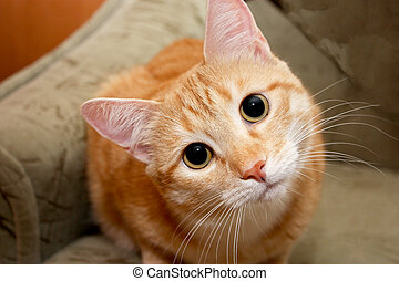 Portrait of red tabby cat stares at the camera