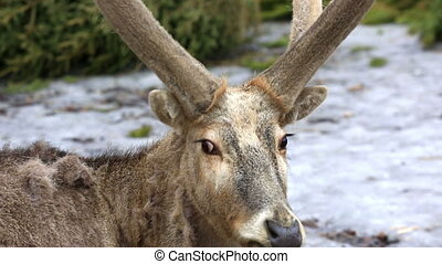 Portrait of reindeer in winter forest - Northern reindeer...