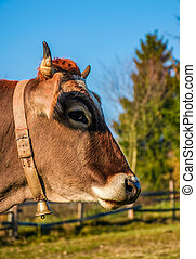 portrait of rufous cow - Portrait of rufous cow in autumnal...