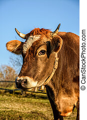 portrait of rufous cow - Portrait of rufous cow in...