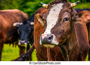 portrait of rufous cow - Portrait of rufous cow with flies...