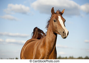 Portrait of running bay arabian horse in summer
