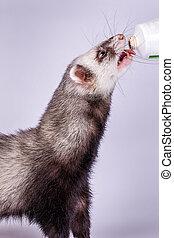 Portrait of sable ferret eating the vitamine paste
