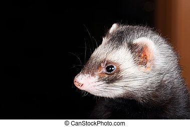 Portrait of sable Ferret