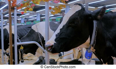 Portrait of sad cow at dairy farm - Portrait of sad cow at...