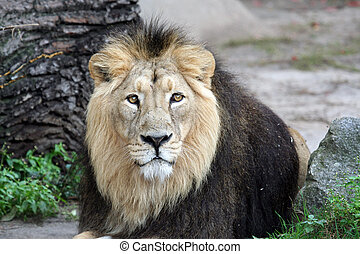 Portrait of sad looking male lion