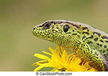 portrait of sand lizard standing on yellow dandelion (...