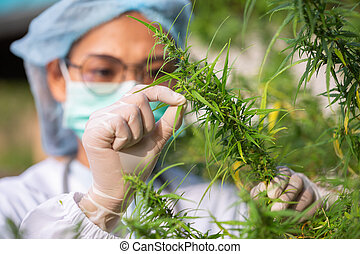 Portrait of scientist checking hemp plants in a greenhouse. ...