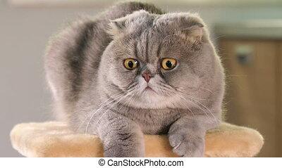 Portrait of Scottish Fold cat - Thoroughbred Scottish Fold...