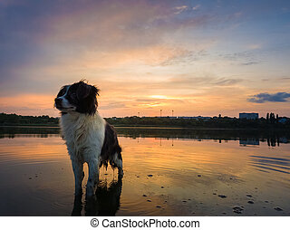 Portrait of serious and attentive border collie dog standing in a pond water over sunset background with reflection on the lake surface. Beautiful pet looking around posing to camera