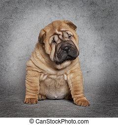 Portrait of Shar-Pei puppy dog against grey background