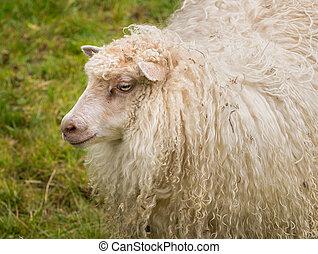 Portrait of sheeps head with long white wool on Norwegian farmland