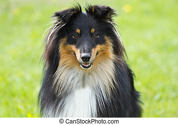 Portrait of sheltie dog
