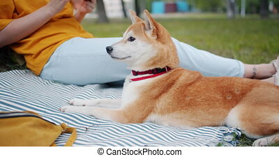 Portrait of shiba inu dog lying on blanket on grass in the park next to owner