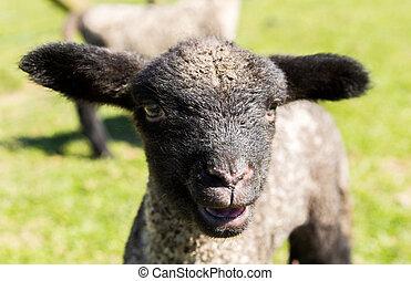 Portrait of Shropshire lamb in meadow