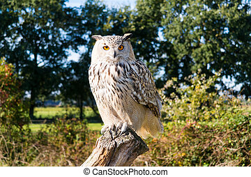 Portrait of Siberian eagle owl, Bubo Bubo sibiricus, perching on tree trunk