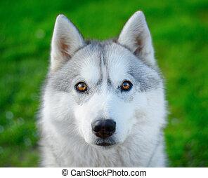 Siberian Husky - portrait of Siberian Husky dog
