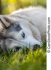 Portrait of Siberian Husky