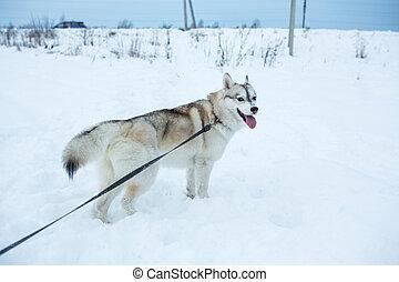 Portrait of siberian husky.
