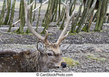 Sika Deer (Cervus nippon dybowskii)