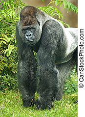 Portrait of silverback gorilla