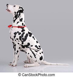 Portrait of sitting Dalmatian on gray