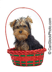 Portrait of sitting in basket puppy of yorkshire terrier