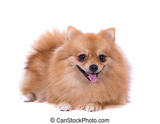 Portrait of sitting pomeranian