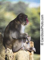 Portrait of Sitting Relaxing Japanese Macaque On Tree at Arashiyama Monkey Park Iwatayama in Kyoto, Japan