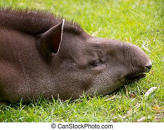 Portrait of sleeping tapir