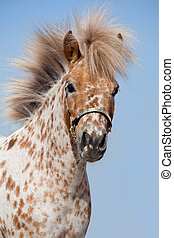 Portrait of small pony - Portrait of chestnut in spots...