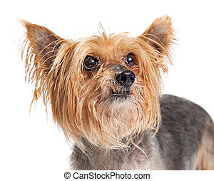 Portrait of Small Terrier Dog Looking Up