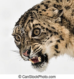 Portrait of Snarling Snow Leopard on Isolated White Background