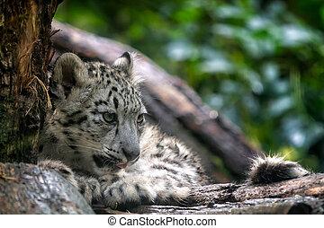 Portrait of Snow leopard cub, Panthera uncia