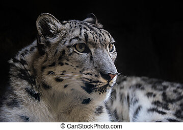 Portrait of Snow Leopard on Isolated Black Background 2