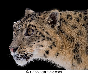 Portrait of Snow Leopard on Isolated Black Background