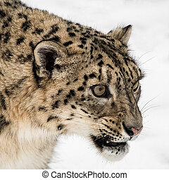 Portrait of Snow Leopard on Isolated White Background