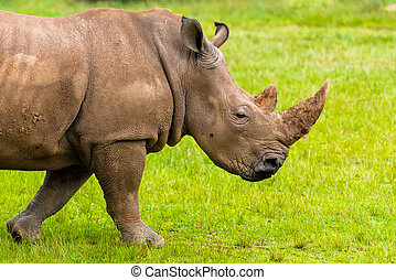 Portrait of Southern white rhino, endangered African native animal