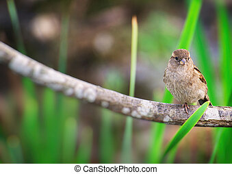 Portrait of sparrow on a branch.