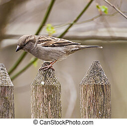 Portrait of sparrow standing on a wooden fence