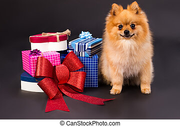 Portrait of spitz with gift boxes.