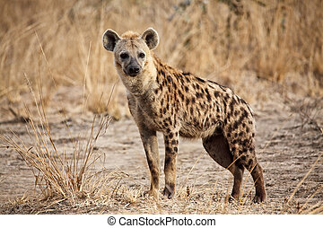 spotted hyena - portrait of spotted hyena in luangwa...