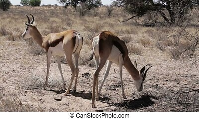 Portrait of springbok antelope graz