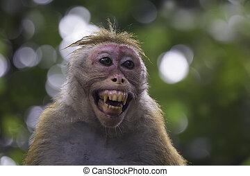 Sri-Lankan toque macaque (Macaca sinica) - Portrait of Sri-...