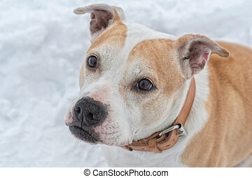 Portrait of staffordshire bull terrier on a snow